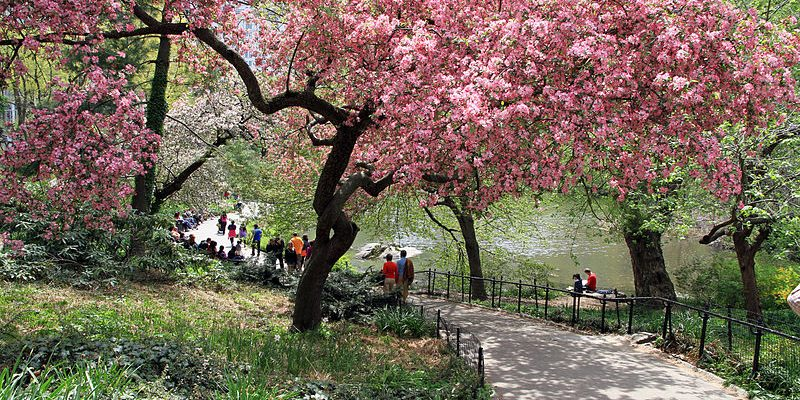 A photo of a tree in blossom in Central Park.