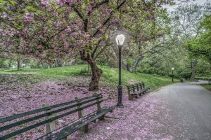 blossoms and more Central Park