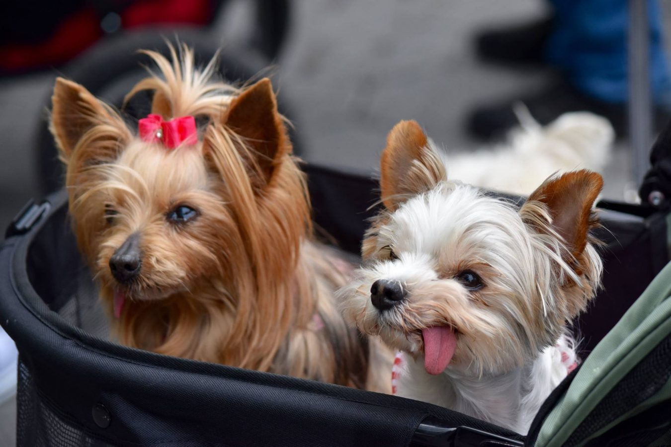 A photo of happy dogs at the Top Dog Tours Central Park fundraiser.