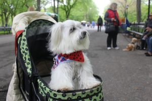 A photo of a happy dog at the Top Dog Tours Central Park fundraiser.